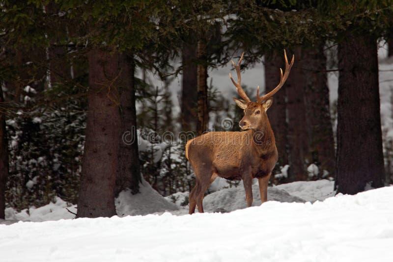 Rood hertenmannetje, bos van de blaasbalg het majestueuze krachtige volwassen dierlijke buitenherfst, witer scène met sneeuwbos,  stock fotografie
