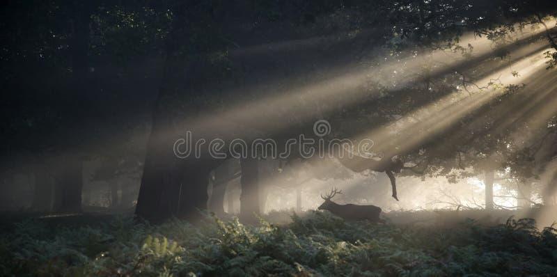 Rood hertenmannetje dat door zonstralen door bosl wordt verlicht te overweldigen stock foto's