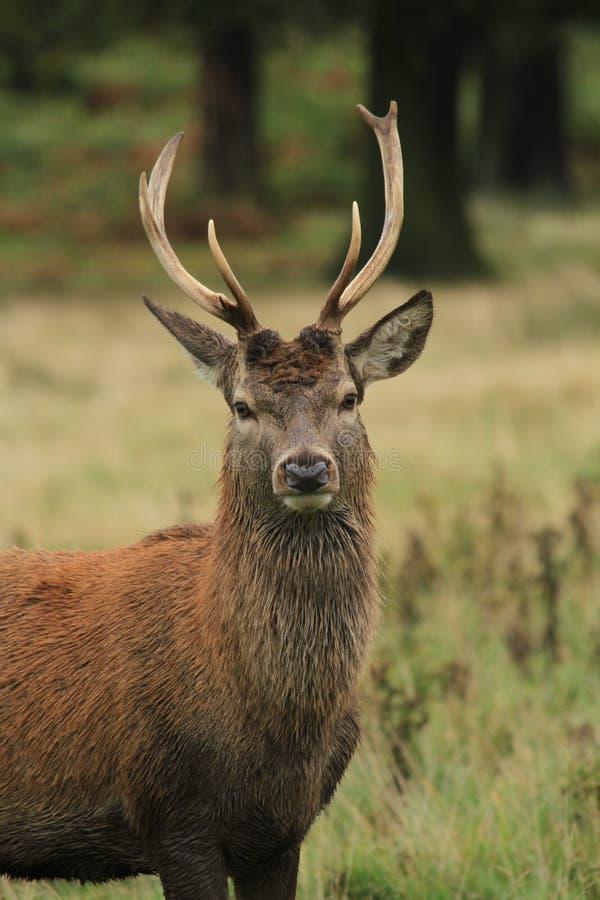Rood hertenmannetje in de herfstregen royalty-vrije stock foto