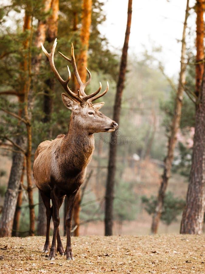 Rood hertenmannetje in het bos van de de herfstdaling royalty-vrije stock foto's