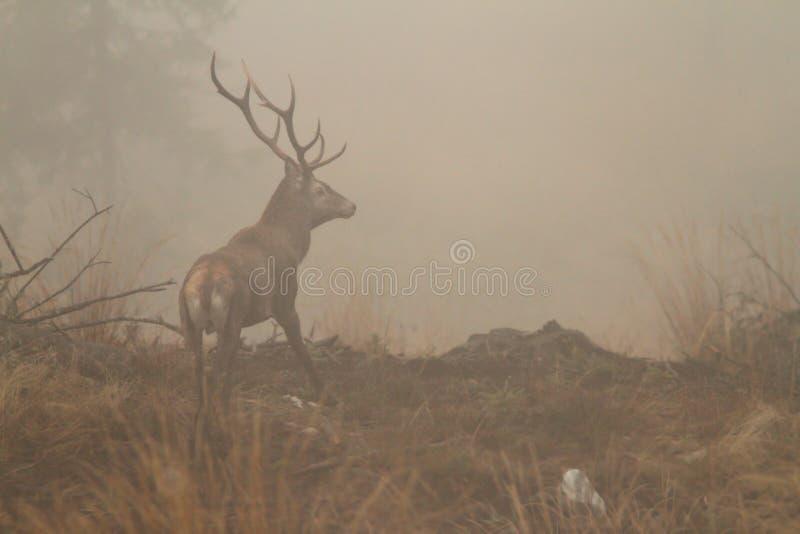 Rood hertenmannetje in ochtendmist royalty-vrije stock foto's