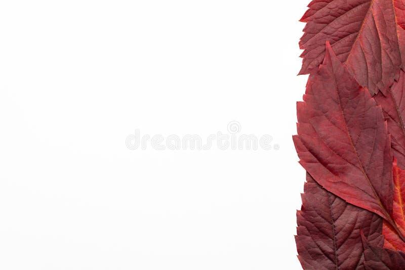 Rood, het liggen bladeren op een witte achtergrond met een het knippen weg worden geïsoleerd die Autumn Colors stock foto