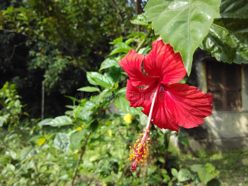 Rood Java Flower stock foto's