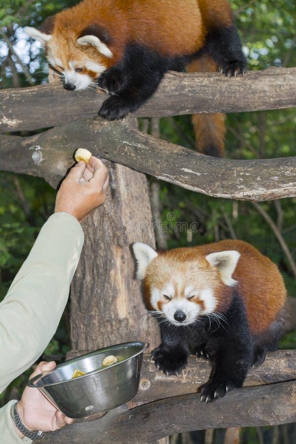 Rood of kleinere panda royalty-vrije stock afbeelding