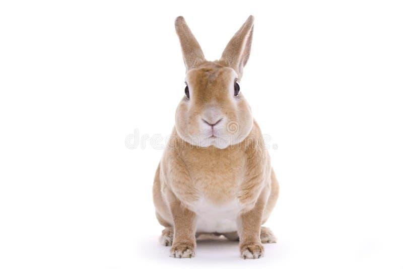 Rood konijn royalty-vrije stock foto's
