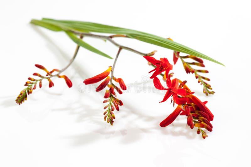 Rood krokusbloesems en blad stock fotografie