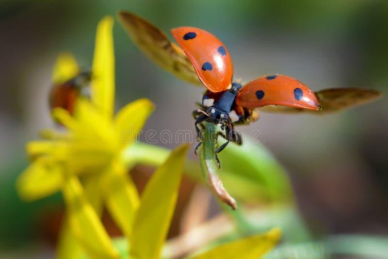 Rood lieveheersbeestje royalty-vrije stock foto