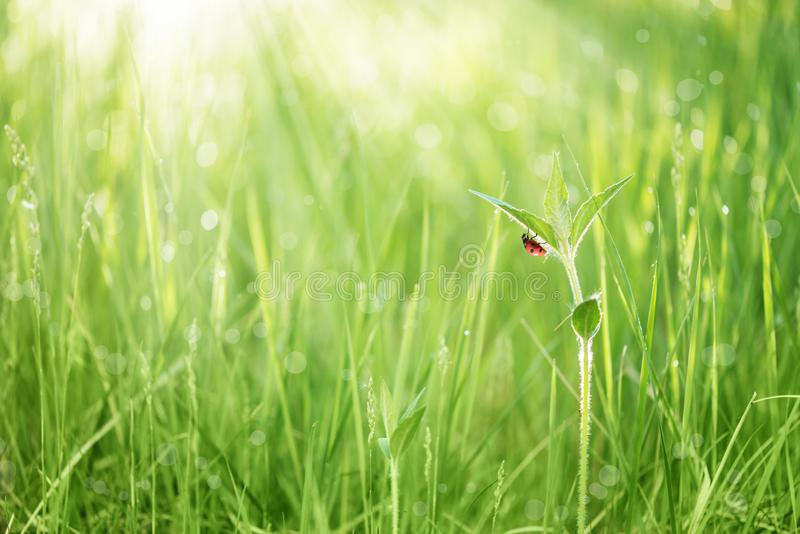Rood lieveheersbeestje op een blad van groen gras stock afbeeldingen