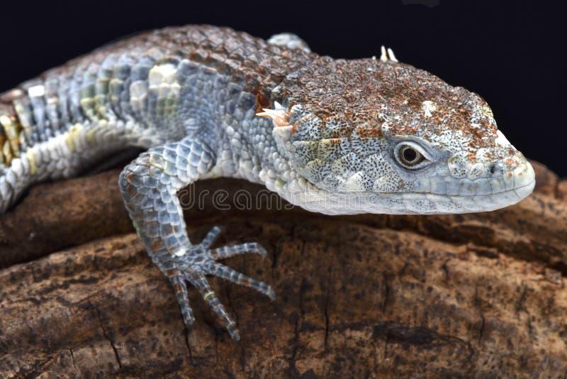 Rood-lipped Boom Krokodillehagedis (Abronia-lythrochila) royalty-vrije stock afbeeldingen