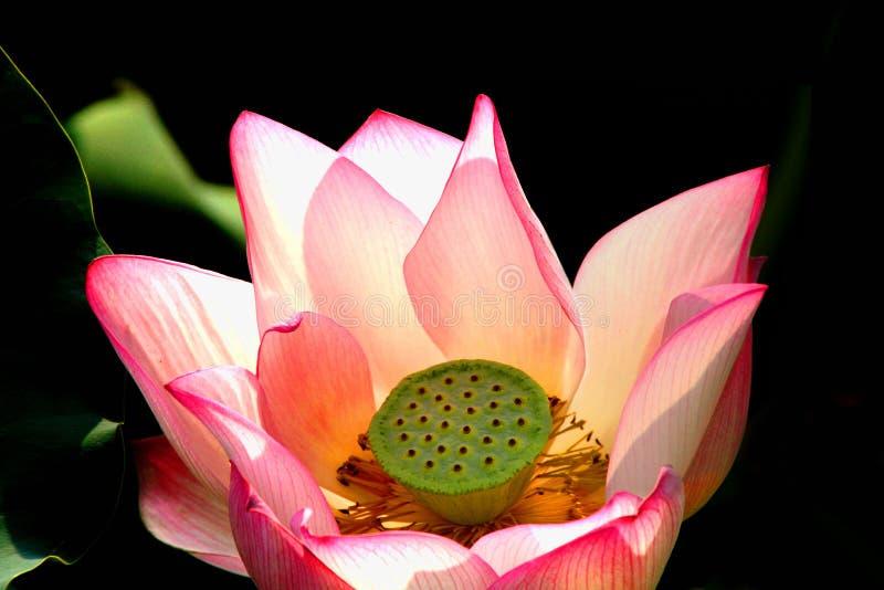 Rood Lotus stock afbeeldingen