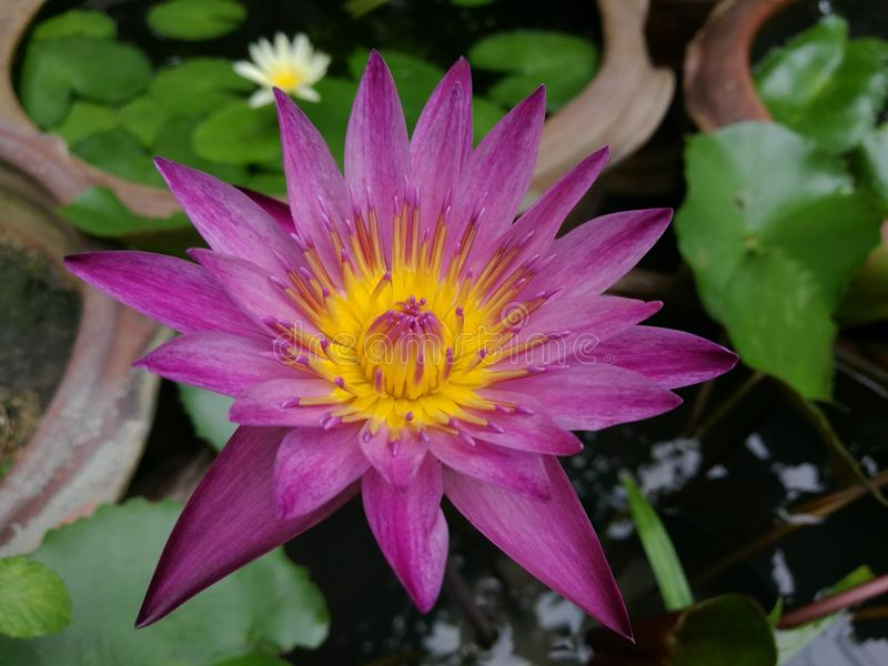 Rood Lotus stock afbeelding