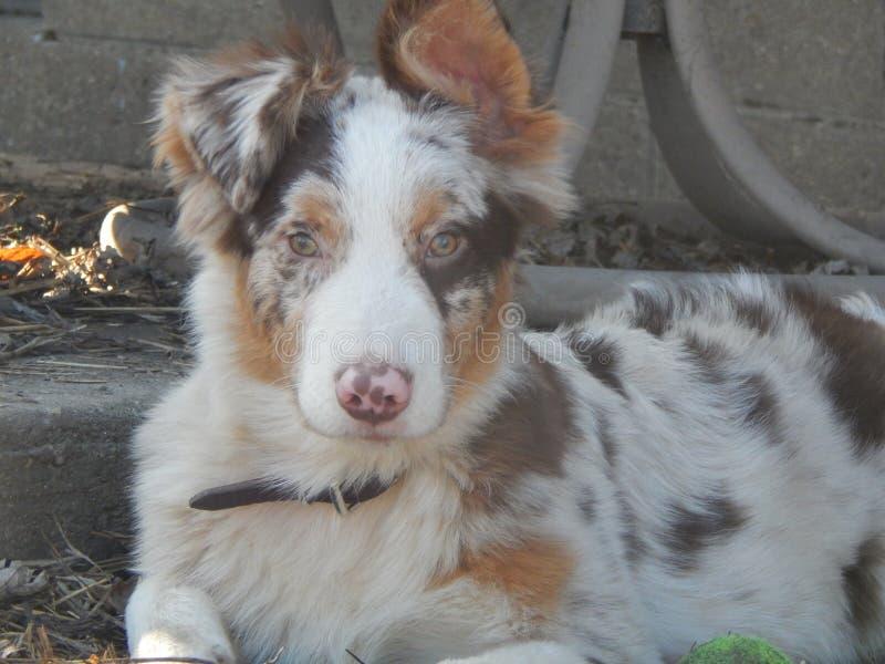 Rood Merle Aussie Pup royalty-vrije stock foto's