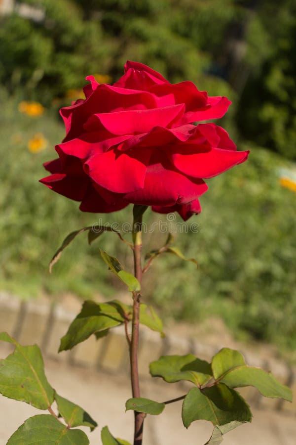 Rood nam bloem die in een tuin bij een zonnige de lentedag bloeien toe stock foto's