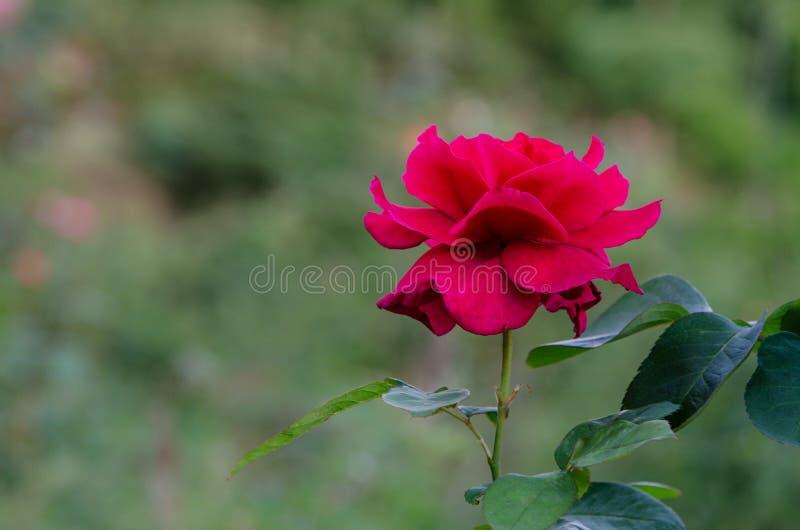 Rood nam bloem op groene aard toe stock foto's