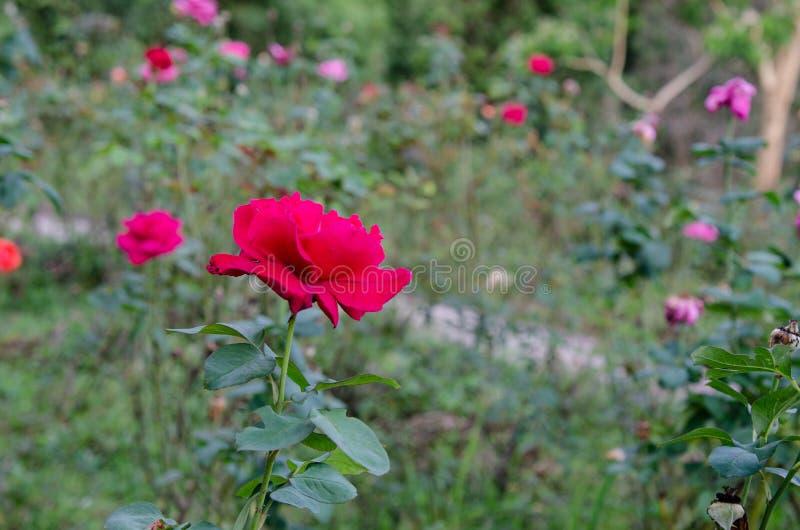 Rood nam bloem op groene aard toe royalty-vrije stock fotografie