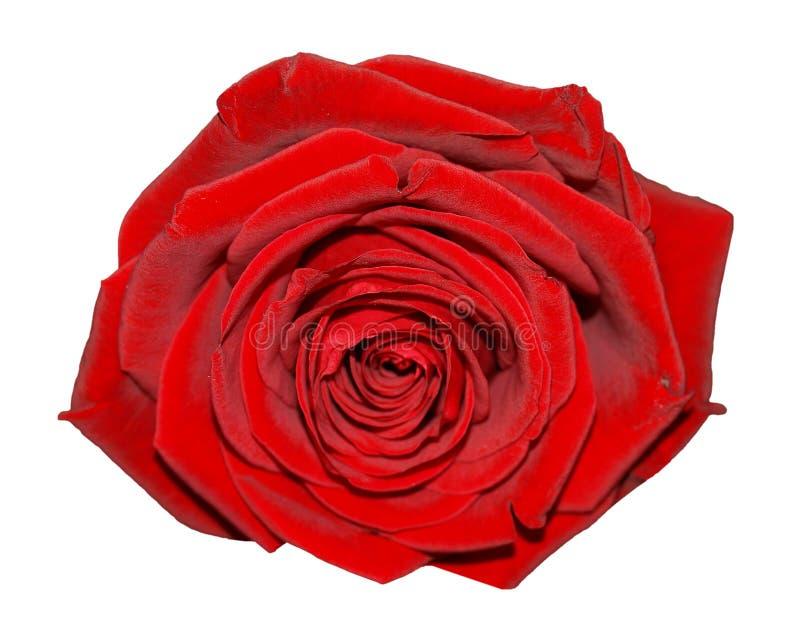 Rood nam bloem over wit wordt geïsoleerd dat toe stock afbeelding