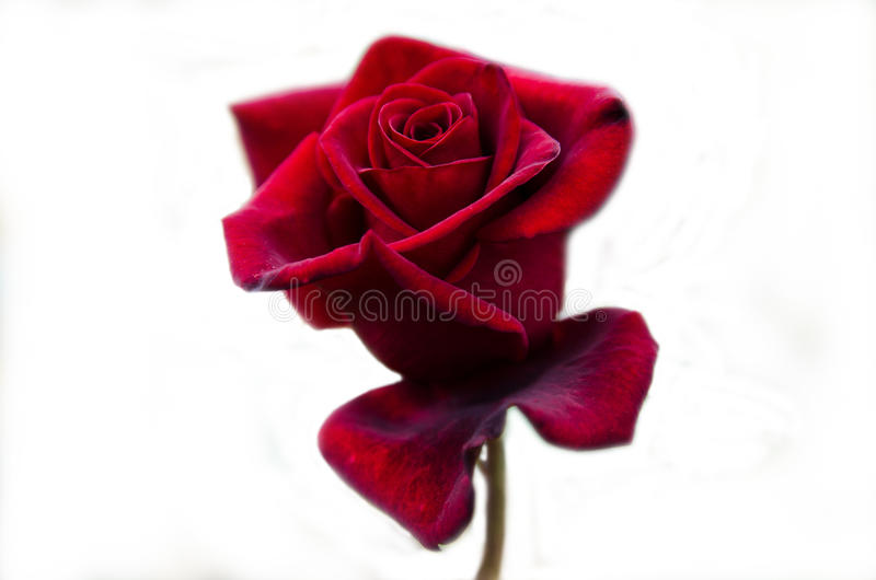 Rood nam bloem toe stock afbeelding