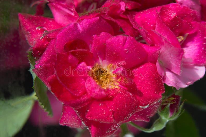 Rood nam bloem in water met bellen achter glas toe stock afbeeldingen