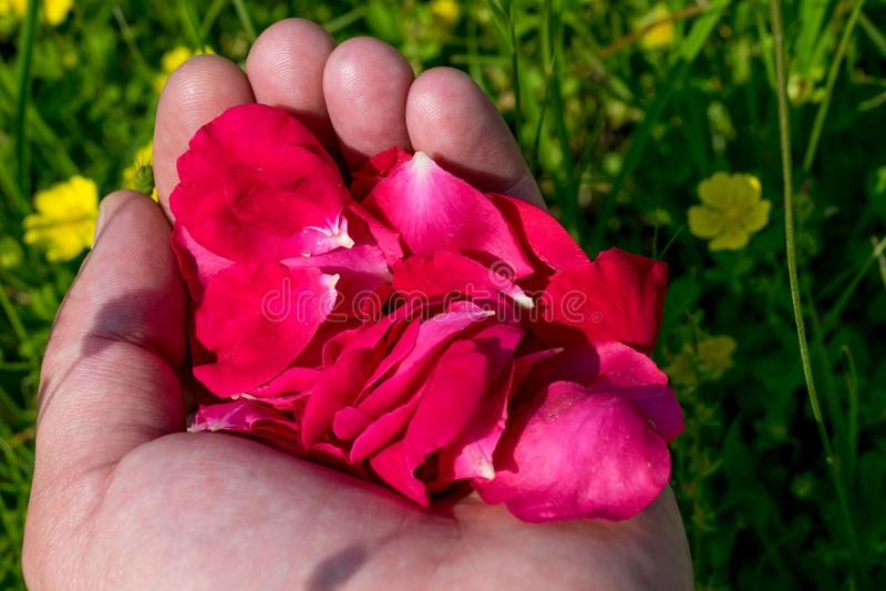 Rood nam bloemblaadjes in de palmen toe stock foto