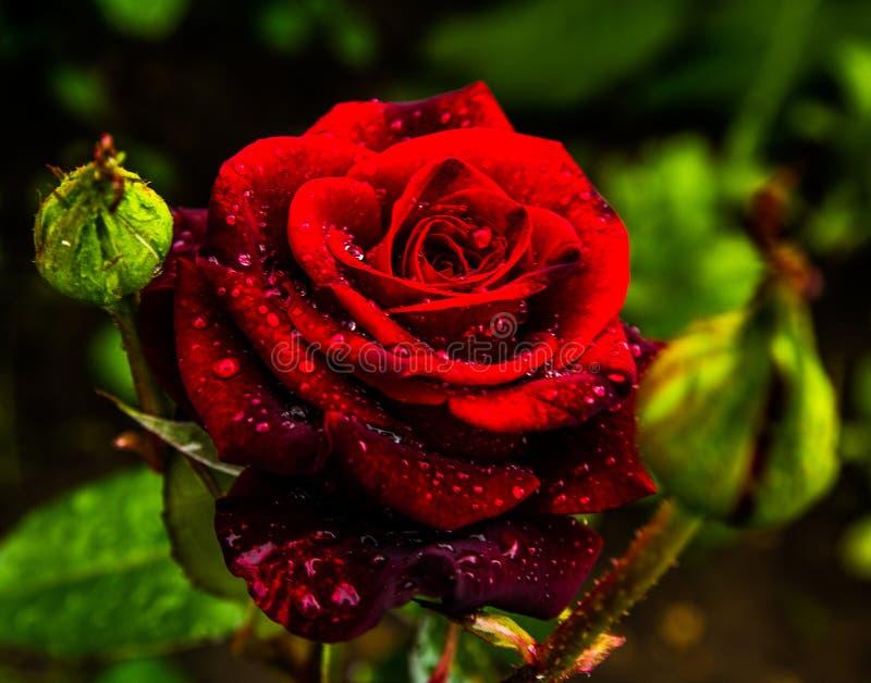 Rood nam bloemblaadjes met de close-up van regendalingen toe Rood nam toe stock foto's