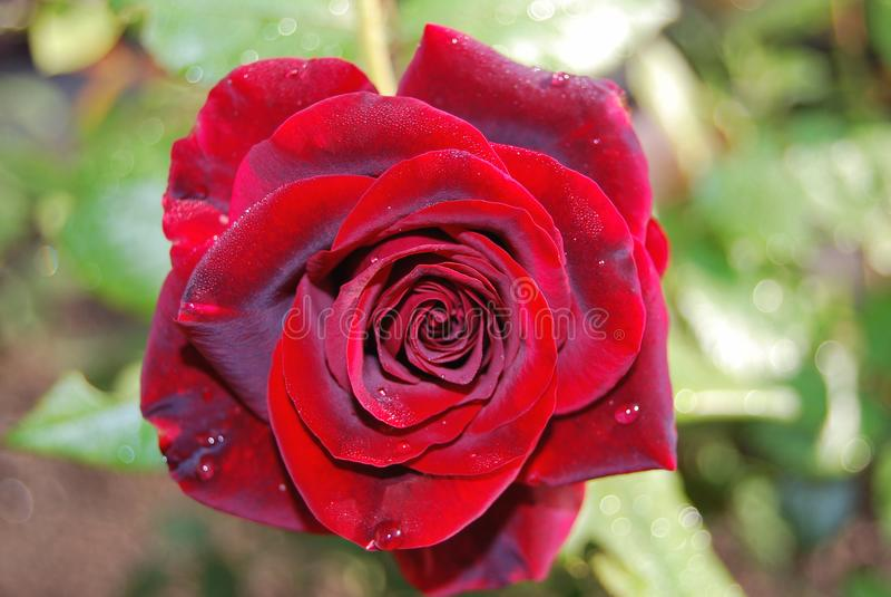 Rood nam bloemblaadjes met de close-up van regendalingen toe royalty-vrije stock fotografie