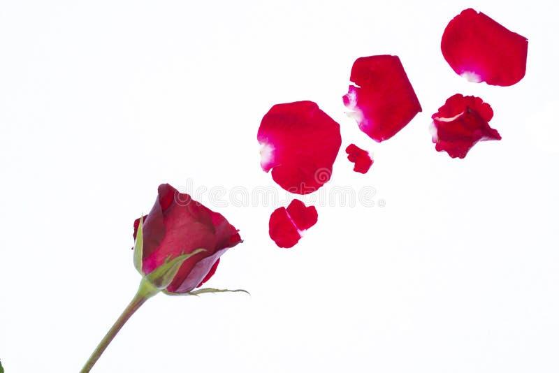 Rood nam bloemblaadjes op witte achtergrond toe royalty-vrije stock afbeelding