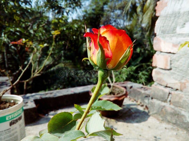 Rood nam bloembloesem in de zomer toe royalty-vrije stock afbeelding