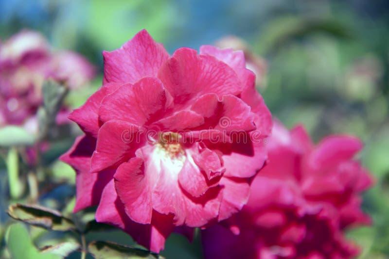 Rood nam bloesem op de groene boom toe, is de rozeninstallatie een stekelige struik royalty-vrije stock foto