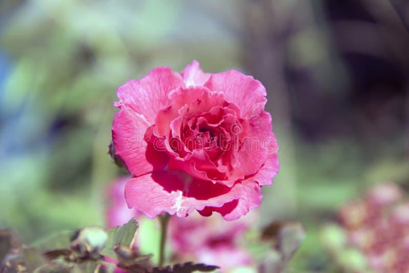 Rood nam bloesem op de groene boom toe, is de rozeninstallatie een stekelige struik stock afbeelding