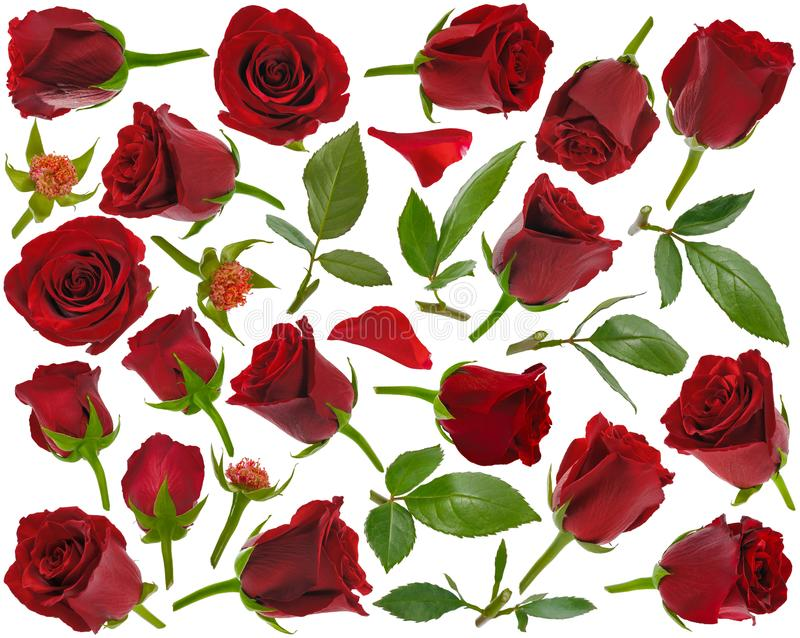 Rood nam knoppenbladeren en bloemblaadjes bij diverse hoeken op witte backg toe stock foto