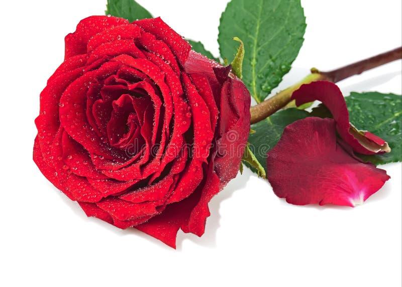 Rood nam met bloemblaadjes toe op witte achtergrond worden geïsoleerd die royalty-vrije stock afbeeldingen