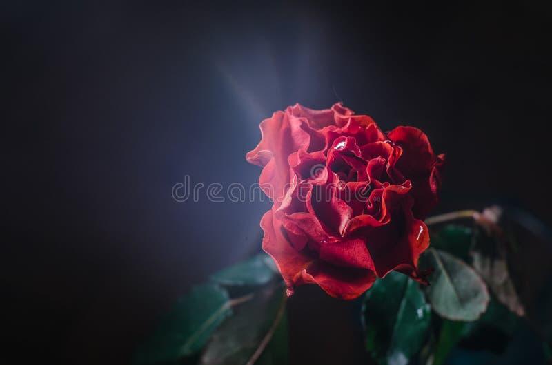 Rood nam met golvende bloemblaadjes en dalingen van dauw op zwarte achtergrond toe royalty-vrije stock fotografie