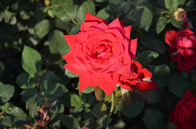 Rood nam toe nave Rood De zomer rosebush stock foto's