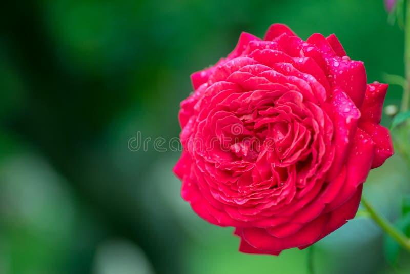 Rood nam in volledige bloei met dauwdalingen toe in de tuin stock fotografie