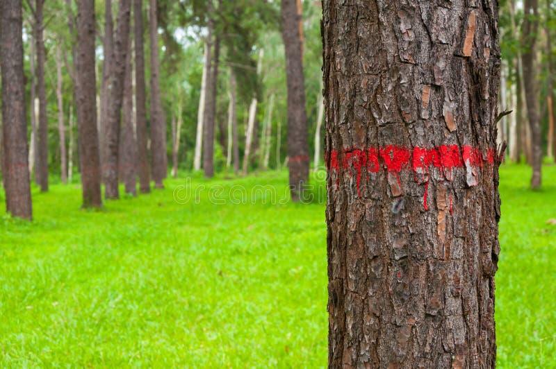 Rood op de schors van de boomstam van de pijnboomboom in de herfstbos dat wordt geschilderd royalty-vrije stock foto's