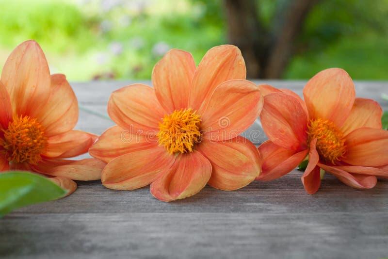 Rood-oranje dakhlia op grijze houten lijst op de tuinachtergrond in de zomerdag royalty-vrije stock afbeeldingen