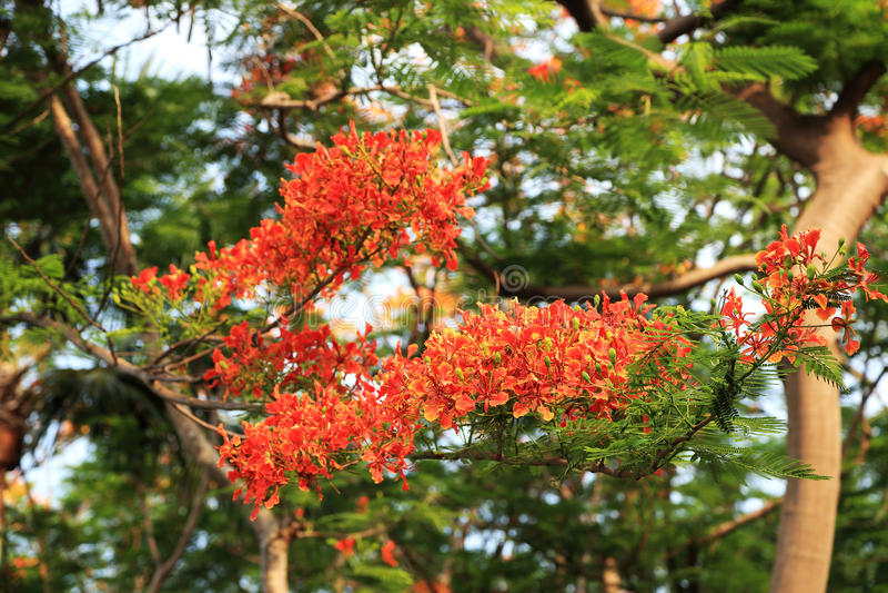Rood - oranje Pauwbloem Schitterende Gulmohar bloeit, boyant Flam, de Vlamboom, Koninklijke Poinciana-boom) royalty-vrije stock afbeelding
