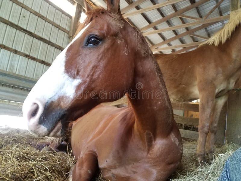 Rood paard royalty-vrije stock foto