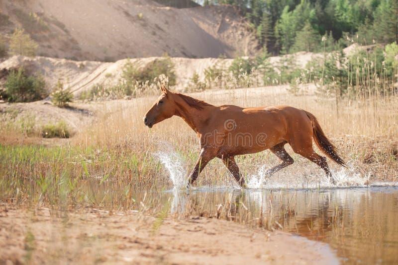 Rood Paard op aard Paarden die camera onderzoeken royalty-vrije stock afbeelding