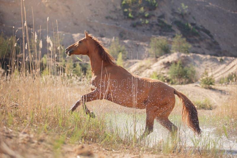Rood Paard op aard Paarden die camera onderzoeken stock afbeeldingen