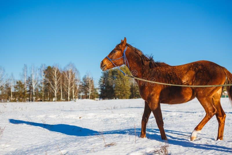 Rood paard op een de winter sneeuwgebied stock fotografie