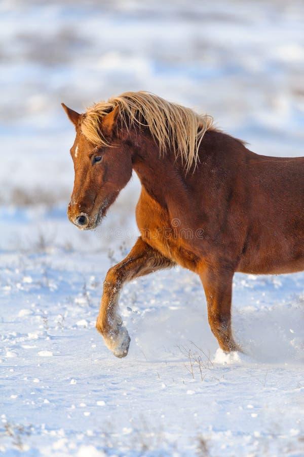 Rood paard in sneeuw stock afbeeldingen