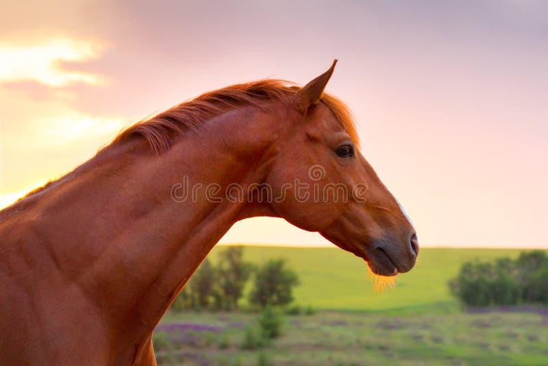 Rood paardportret bij zonsondergang royalty-vrije stock foto's