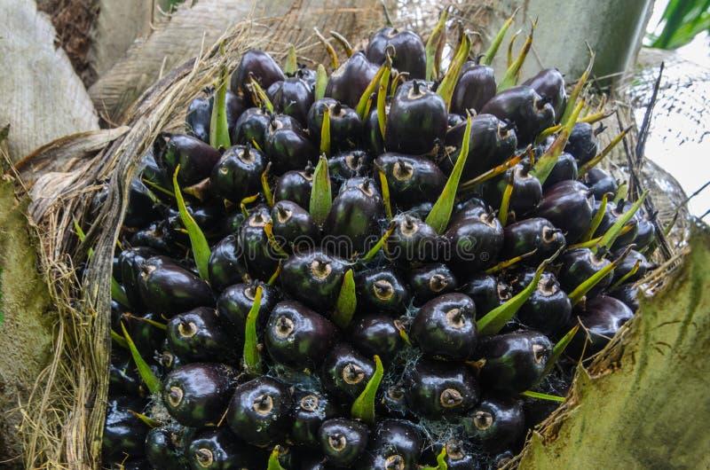 Rood palmfruit stock fotografie