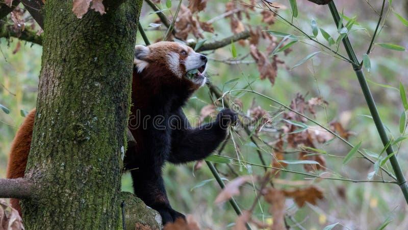Rood Panda Eating Leaves - Deel 4 stock foto