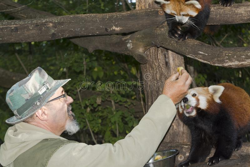 Rood Panda Feeding stock fotografie