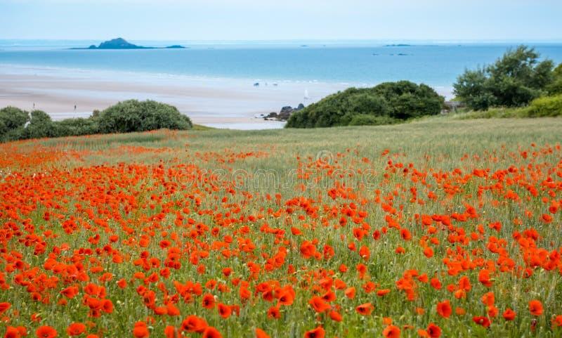 Rood papavergebied dichtbij overzees, Bretagne royalty-vrije stock fotografie