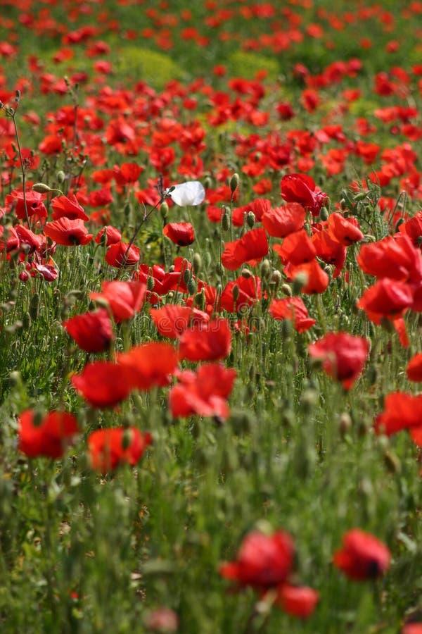Rood papavergebied met één witte papaver royalty-vrije stock afbeeldingen