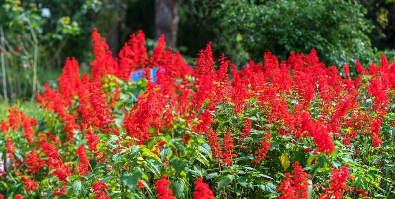 Rood Salvia-broedsel in de middagzon stock foto's