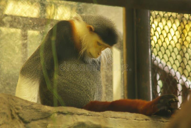 Rood-Shanked douc langur in de kooi stock afbeelding